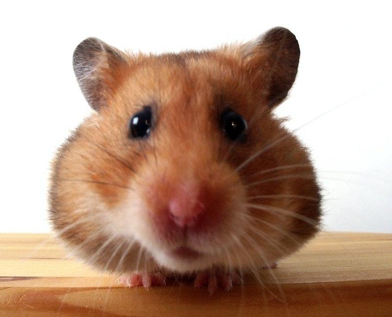 Ingrijirea hamsterului
